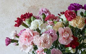 carnationsCR_3562978b